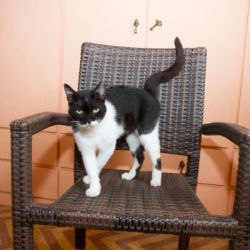 A black and white cat is sitting on a chair looking mysteriously into the camera.