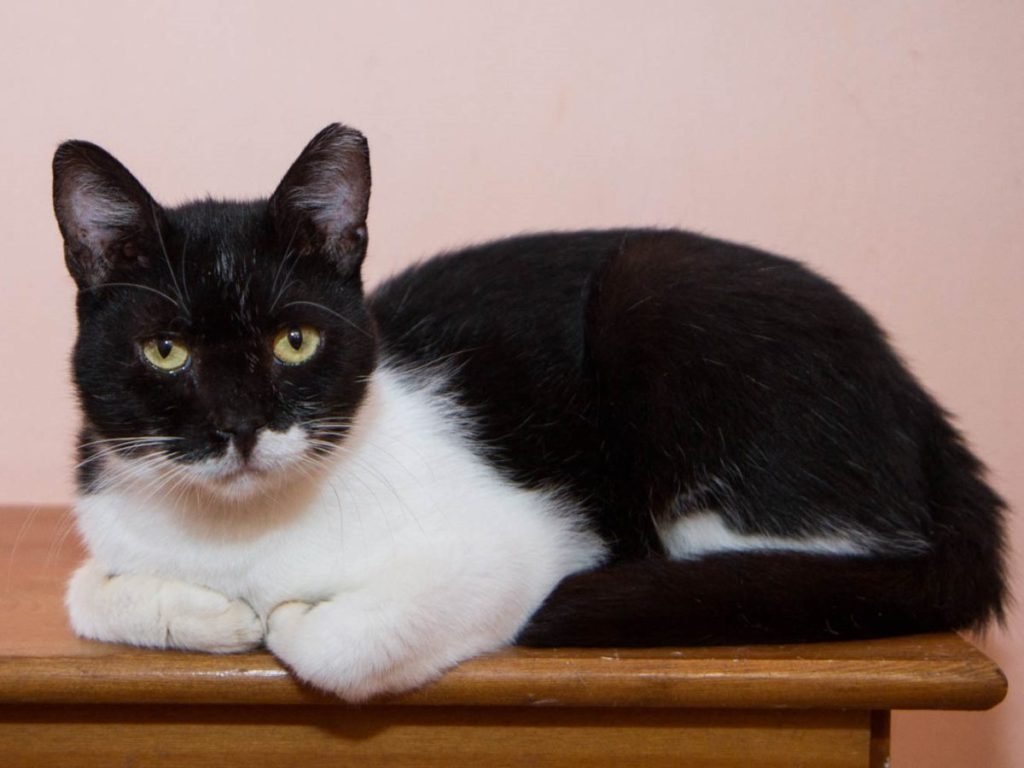 A gorgeous black and white cat with green eyes is posing for the camera while crouching on top of some wooden furniture.