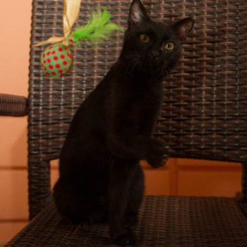 A black cat is standing on her back feet trying to catch a green feather toy!