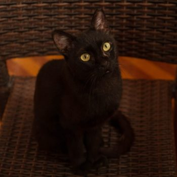 A black cat with yellow eyes is looking at something outside the photo frame while sitting on a brown plastic chair.