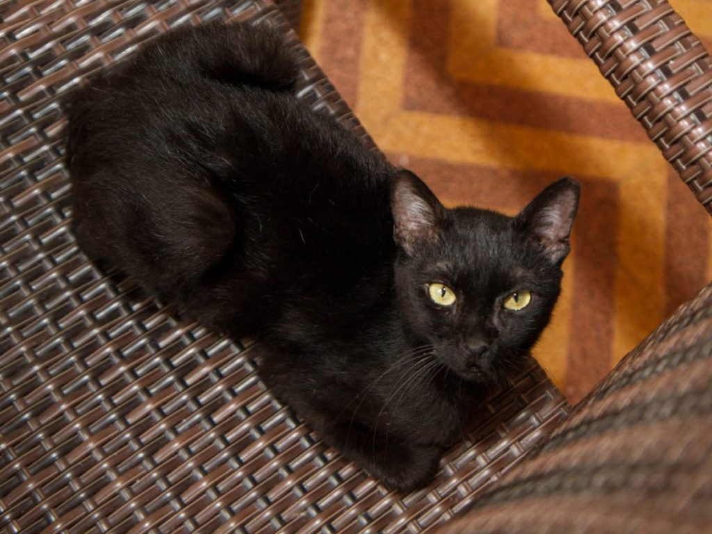 A black cat with green eyes is looking to us while sitting on a brown wooven chair.
