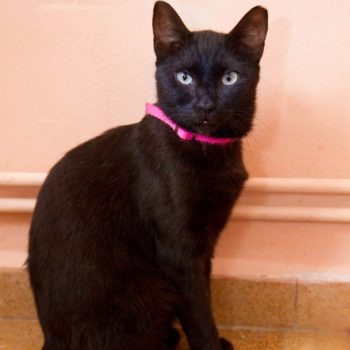 A black cat with a pink collar is posing for the camera in front of a peach wall.