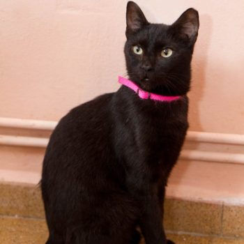 A beautiful young looking black cat with a pink collar is sitting in front of a peach wall.