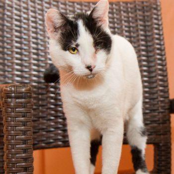 Μια μονόφθαλμη γάτα που είναι κυρίως λευκή, με μαύρα σημαδάκια στην μύτη και την ουρά, στέκεται πάνω σε μια καφέ καρέκλα.