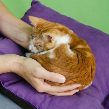 A soft looking ginger kitten is rolled up in a human's hands while lying on a purple pillow.