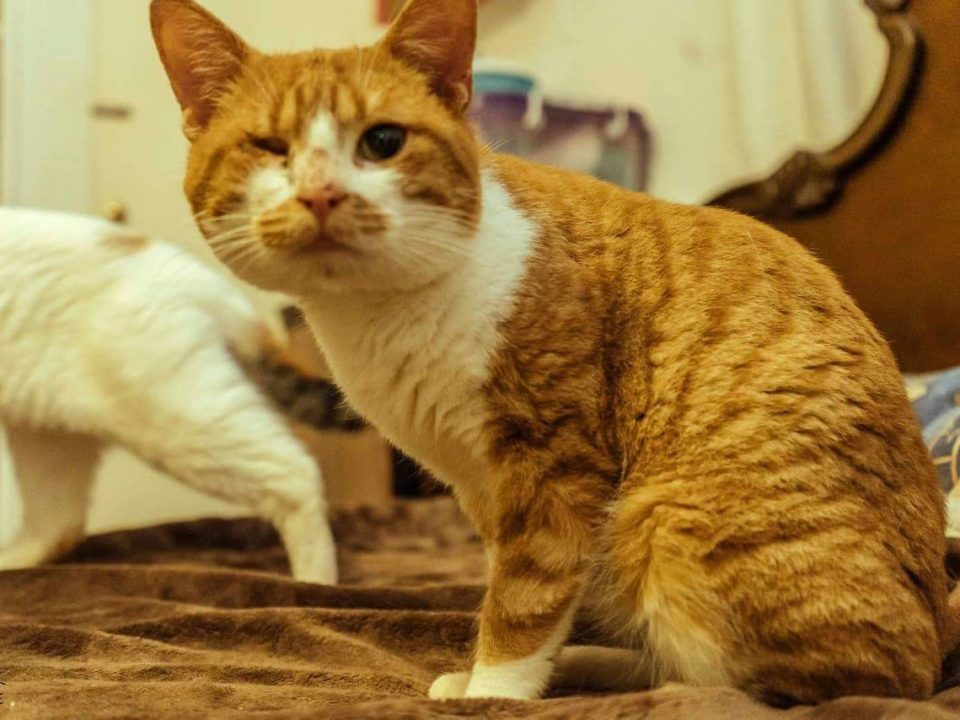 A one-eyed ginger cat is looking into the camera while sitting on a bed with another calico cat in the background.