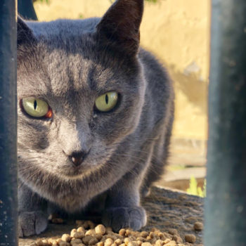 Cat fans will enjoy this photo of a pretty grey cat with green eyes behind a fence about to eat her dry food