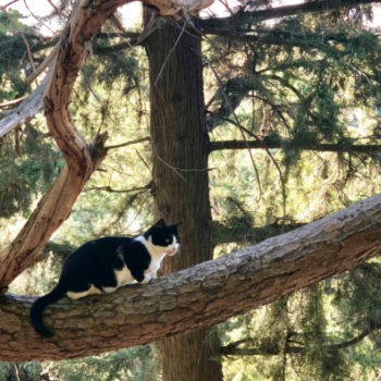 Cat fans will enjoy this photo of a black and white cat sitting on a thick branch of a pine tree