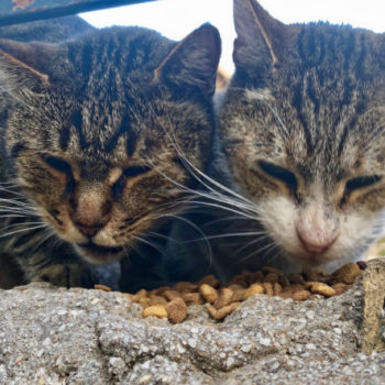 Cat fans will enjoy this photo of two tabby cats eating dry food side by side