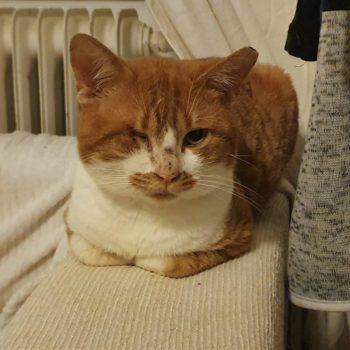 A sweet looking one-eyed ginger cat is sitting with his paws tucked in on the arm of a couch.