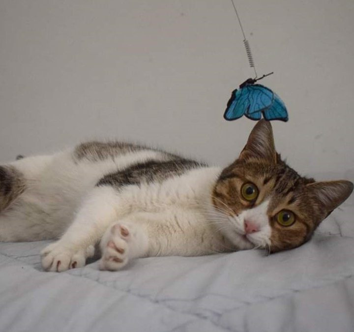 A sweet tabby cat with big eyes is looking into the camera while lying on a bed and with a butterfly toy over her head.