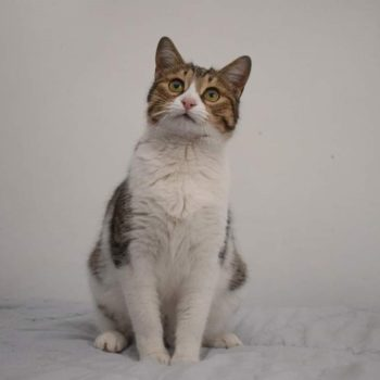 A cute looking tabby cat is looking up while standing on her paws on a white bed sheet.