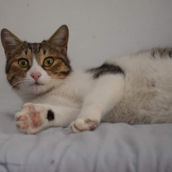 An adorable tabby cat is looking into the camera while lying on a bed with open paws, as if she is kneading.