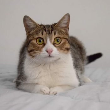 A close up of a beautiful tabby cat with big round eyes and pink nose, having her paws tucked in and lying on a bed.