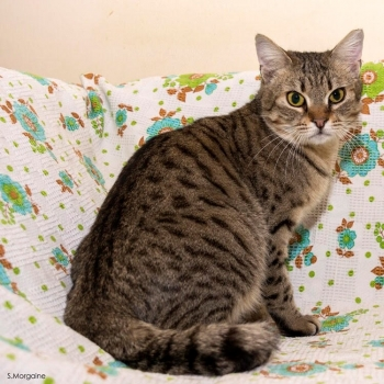 A cute tabby cat is sitting on a floral couch and looks straight into the camera.