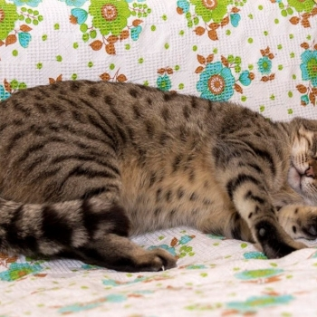 A chubby-looking tabby cat is enjoying some head rubs from her human while lying on a floral couch sheet.