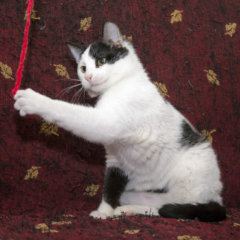 An adorable pussy cat with white and black fur plays with a red string
