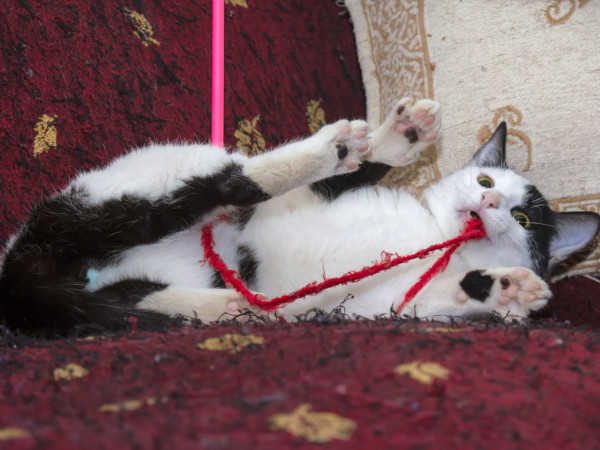 An adorable pussy cat lying on his back playing with a red string attached to a pink stick