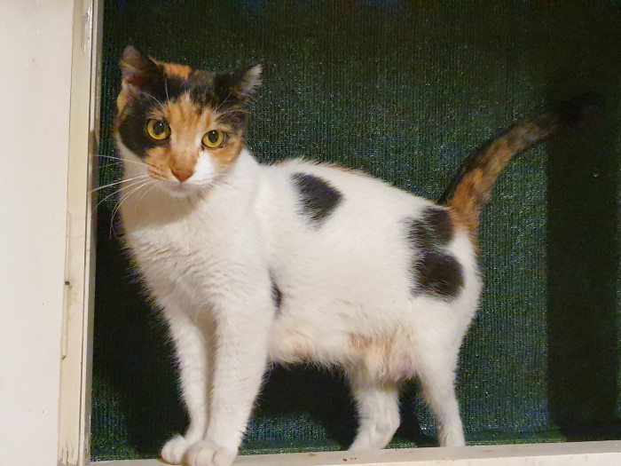 A sweet calico cat standing in an open window