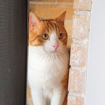 A beautiful male cat with orange and white fur standing between a brick wall and a screen