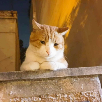 A beautiful male cat with orange and white fur sitting outside on top of a low roof at night