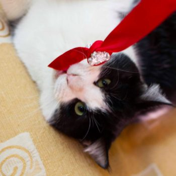 A puffy tuxedo kitten is lying on a fabric while having a red ribbon toy in his mouth.