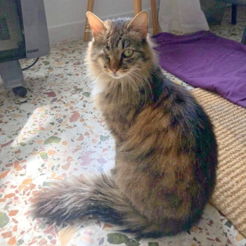 An elegant fluffy and cuddly female cat, missing an eye, sits up on the floor