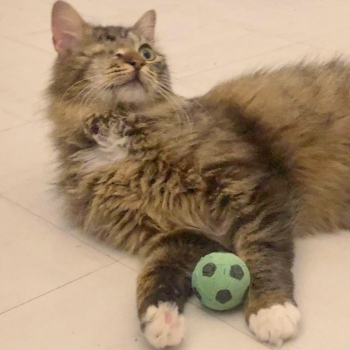 A fluffy and cuddly female cat lying on the floor with her toy football