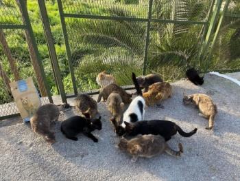 Οι Εφτάψυχες συνεχίζουν να φροντίζουν τις αδέσποτες γάτες εν μέσω πανδημίας. Εδώ μια μικρή ομάδα γατών, σιτίζεται από εθελοντές του Σωματείου.