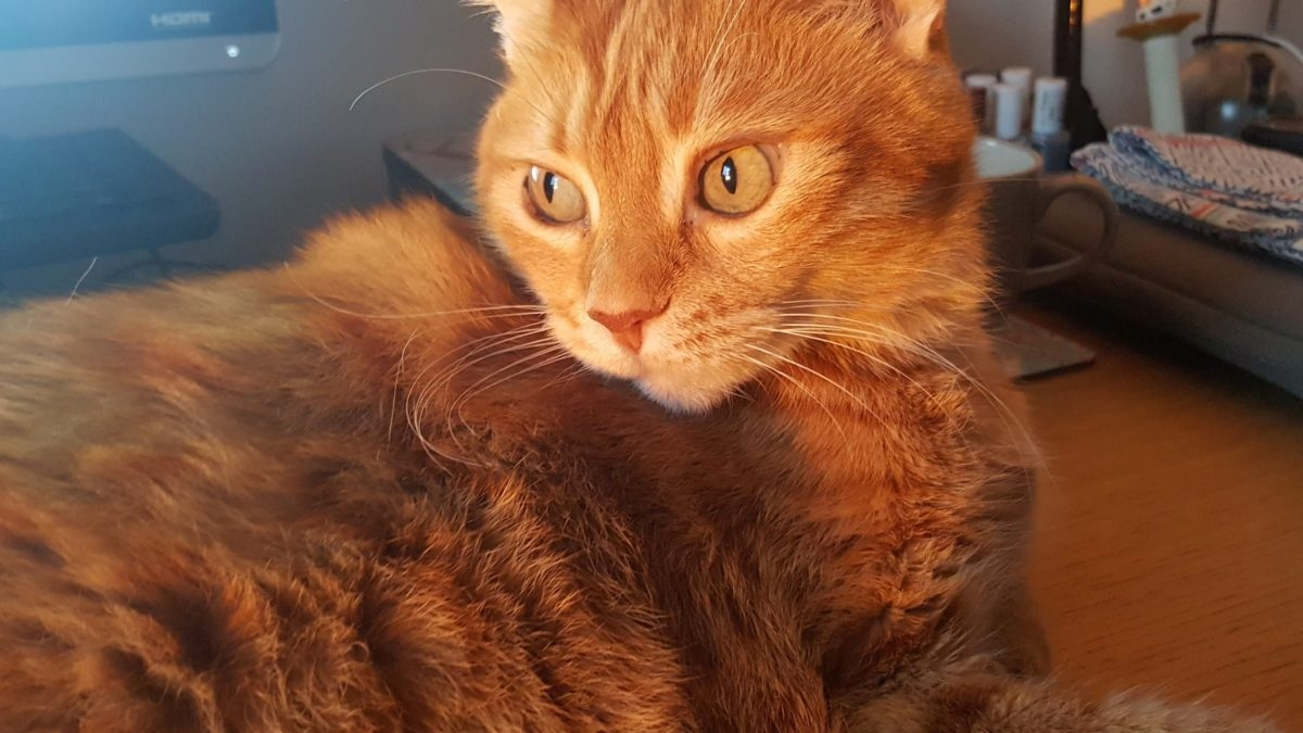 A gorgeous ginger cat is lying on a desk while the sun shines upon him.