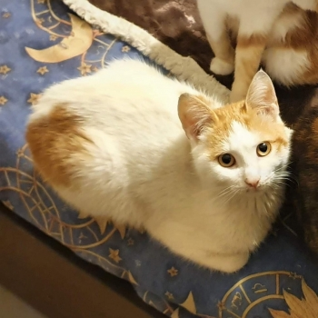 A cute kitten with white fur and orange marks is looking into the camera with his paws tucked in.