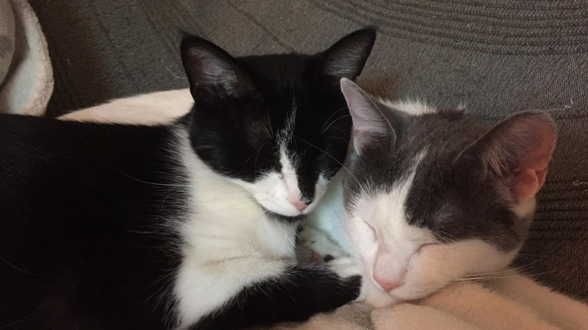 Two adorable kittens, one tuxedo and one white-grey are sleeping together.