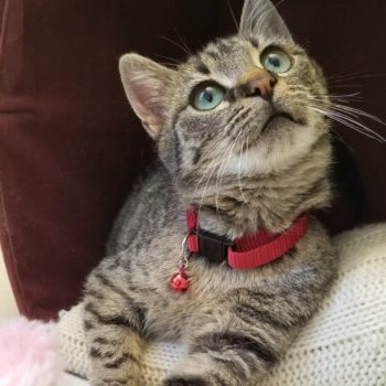A small tabby kitten with turqoise eyes is lying inside a cat cave and looks upwards.