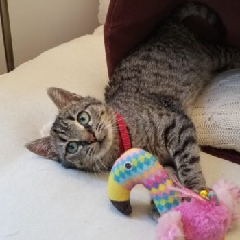 A sweet looking tabby kitten is lying in her knitted bed while holding a pink flamingo toy in her arms.