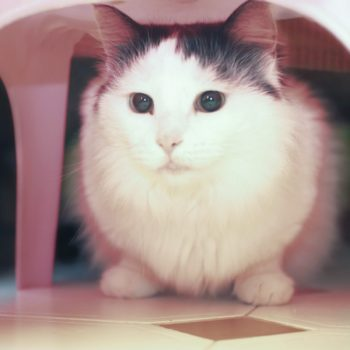 A super fluffy white cat is sitting under a pink plastic chair.