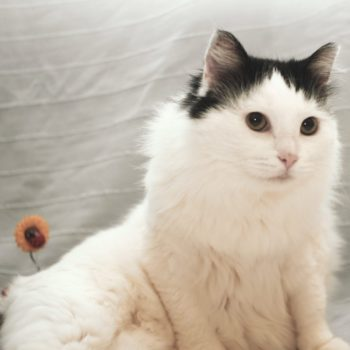 A fluffy white cat with green eyes and black markings on her head is striking a pose while lying on the bed.