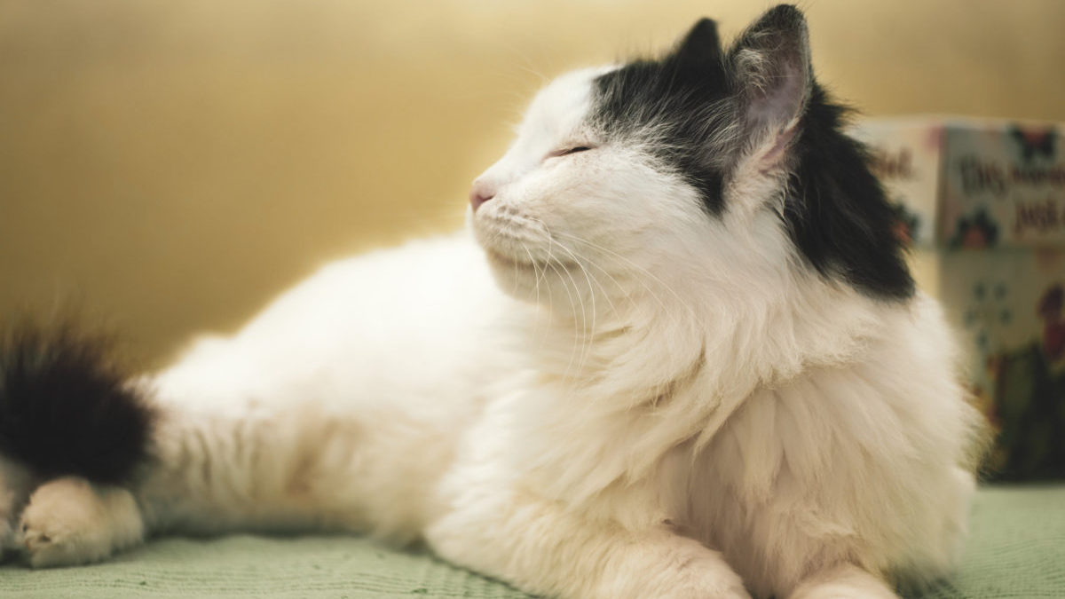A fluffy white cat is lying on a green bedsheet with her eyes closed, like she is smelling a spring breeze coming in from the window.