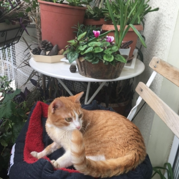 A young looking ginger cat with green eyes is sitting in a blue cat bed with red interior at the balcony.