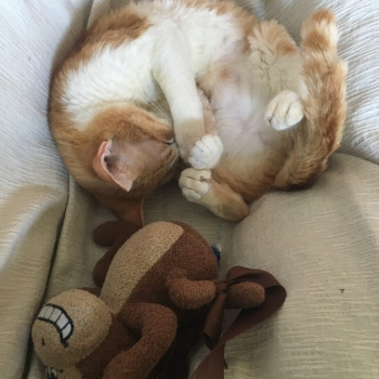 A sweet ginger cat curled up with her belly showing next to a brown monkey toy.