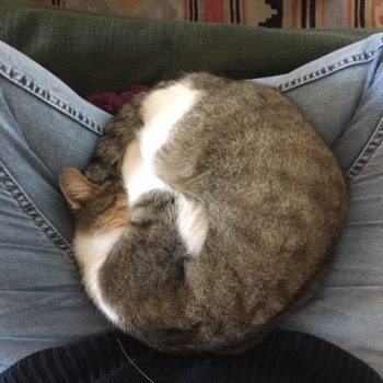 A curled up tabby cat with white spots on a human's lap.