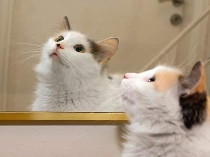 A pretty long haired cat looking at something in the mirror