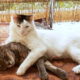 A beautiful cat for adoption lying contentedly with his furry friend
