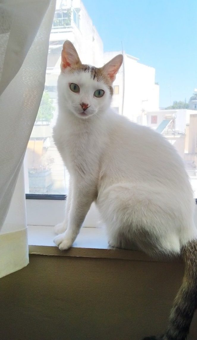 A beautiful cat who was adopted by a volunteer after months of feeding stray cats.