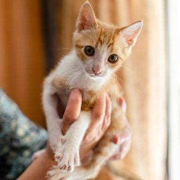 A ginger kitten is held up in the palms of a human.