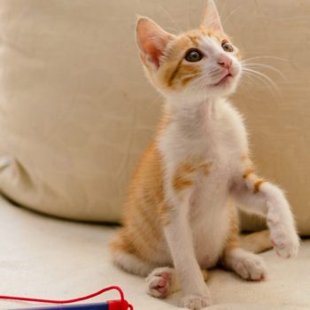 A cute ginger and white kitten is sitting on a beige couch while looking up with his beautiful amber eyes.