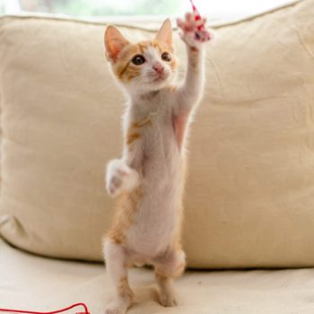 An adorable ginger tabby with while belly is standing up on his back feet while trying to catch a flying ribbon.