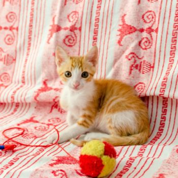 A ginger and white kitten is sitting on a couch with a red pattern next to a toy with a red string and a yellow-red fluffy ball.