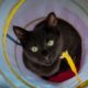 A gorgeous black kitten with green eyes is looking straight into the camera while inside a blue and yellow cat tunnel.