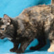 A young tortoiseshell cat on a blue background poised to pounce on a toy
