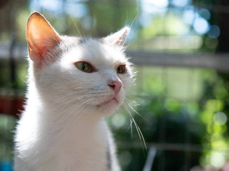 A white cat with pink nose and green eyes is looking somewhere in the distance while being inside a catio.